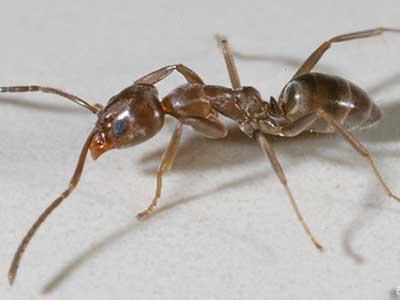 Siyah Bahçe Karıncaları...