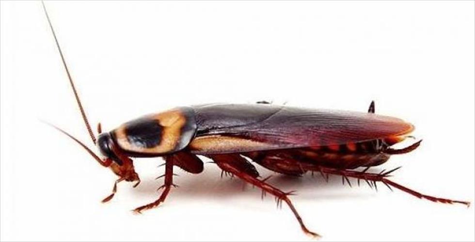 DOĞU HAMAMBÖCEĞİ (Blatta orientalis) Bursa Hamam Böceği İlaçlama:   ...