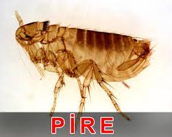 Bursa da ev böcek ilaçlama  BURSA DA PİRE İLAÇLAMASI